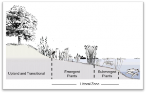 Littoral Zone Illustration